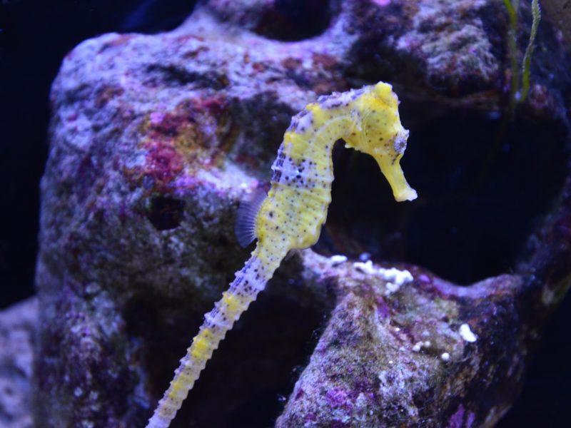 Aquarium de Lyon : l'hippocampe
